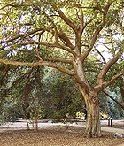 California live oak